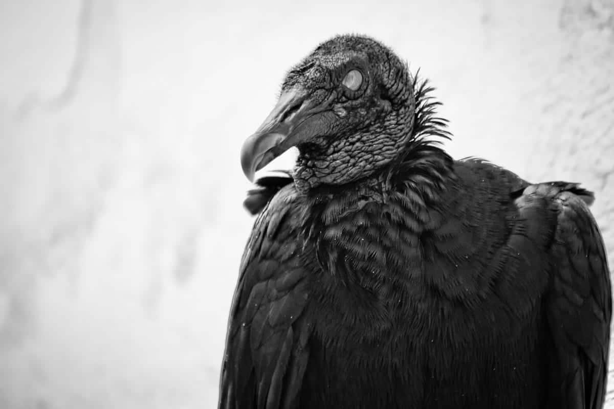 vulture colombia