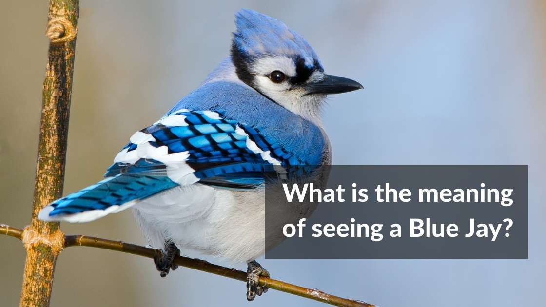 What is the meaning of seeing a blue jay
