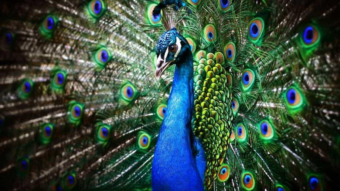 peacock FAQ symbolism