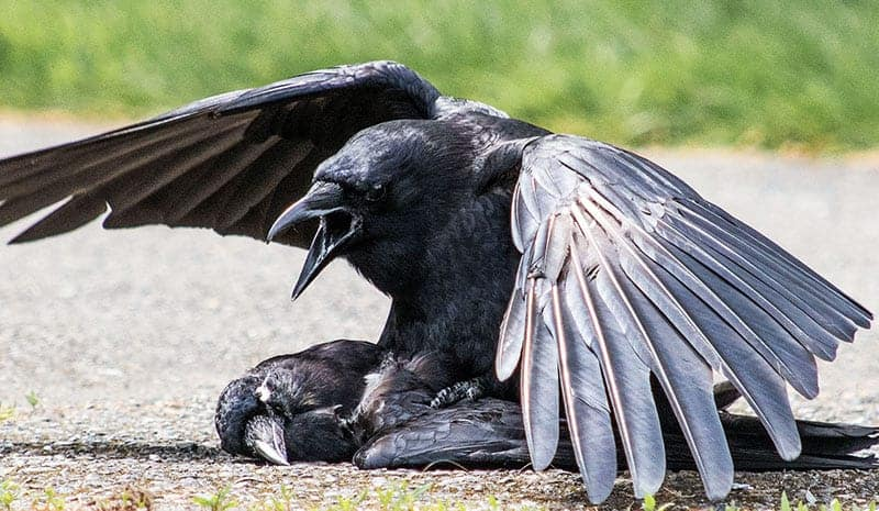 Seeing A Dead Crow SYMBOLISM