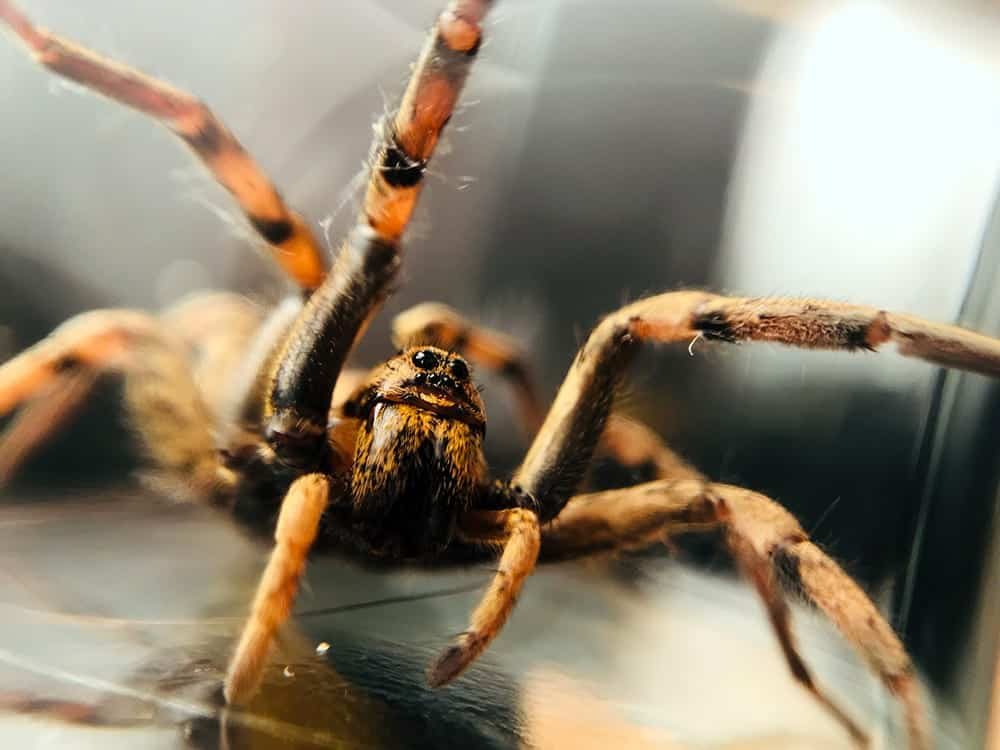 huge Wolf spider scary picture