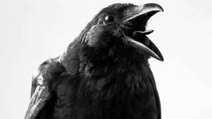 Dead Crow Meaning