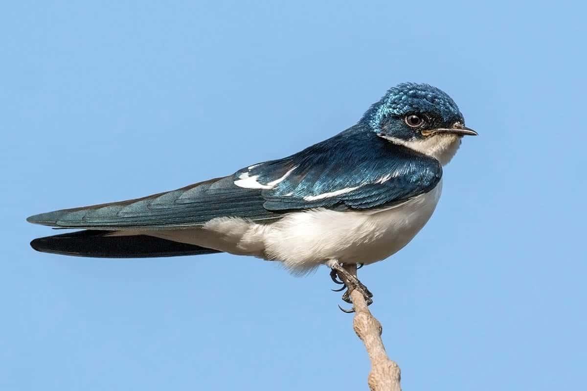 Swallow Symbolism