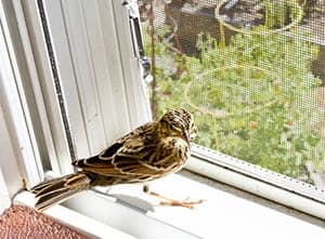 Bird in house Meaning – symbolism, myth or superstition?