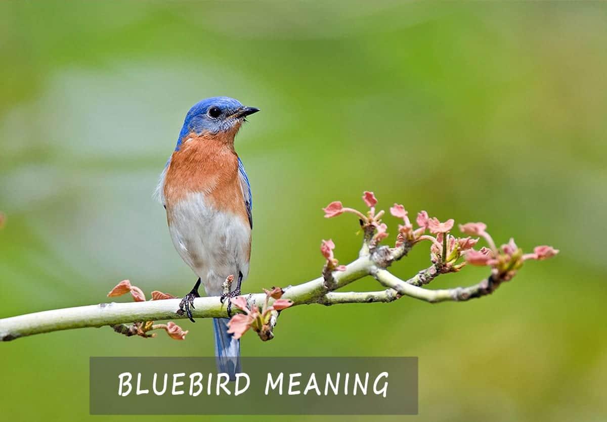 Bluebird Meaning