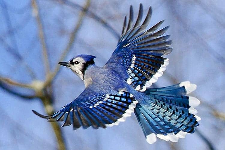 Blue Jay feeders