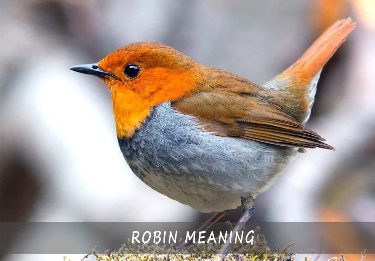 robin meaning