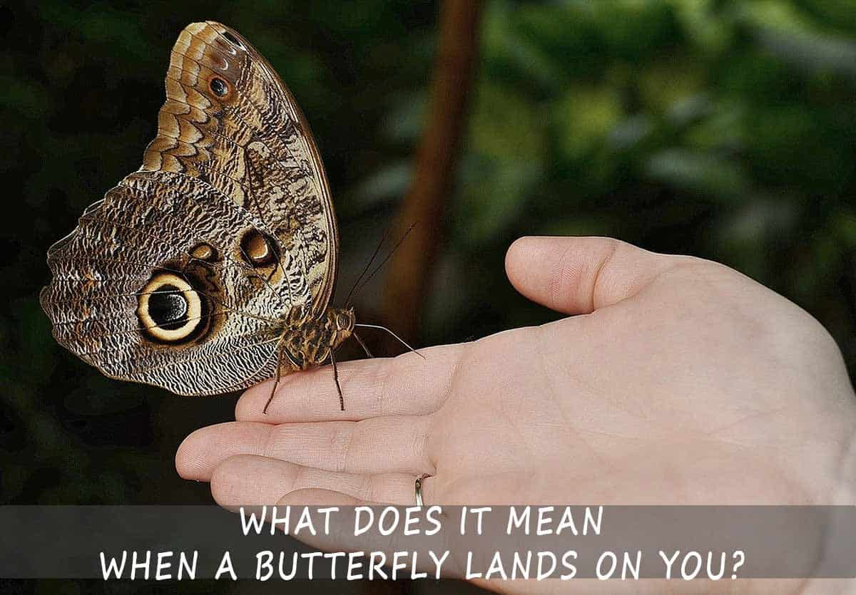 What-Does-it-Mean-When-a-Butterfly-Lands-On-You