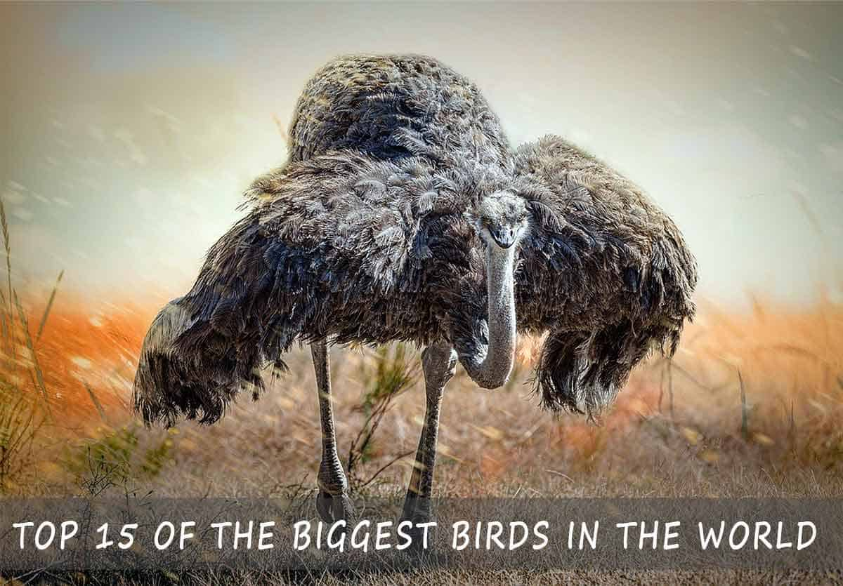 Biggest Birds in the World