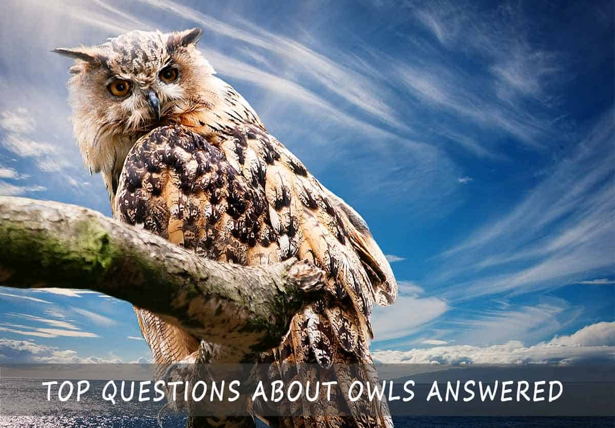 Questions About Owls Answered