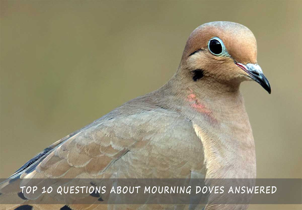 Top 10 Questions About Mourning Doves Answered