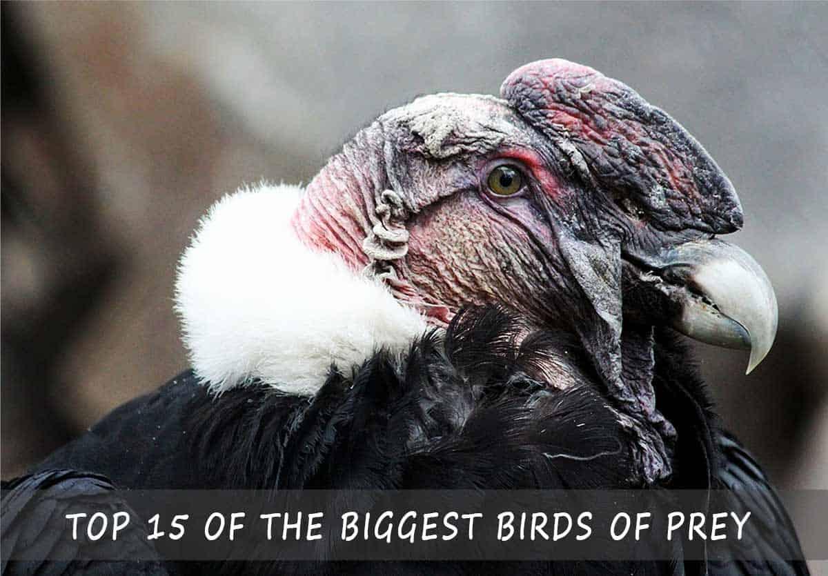 Top 15 of the Biggest Birds of Prey