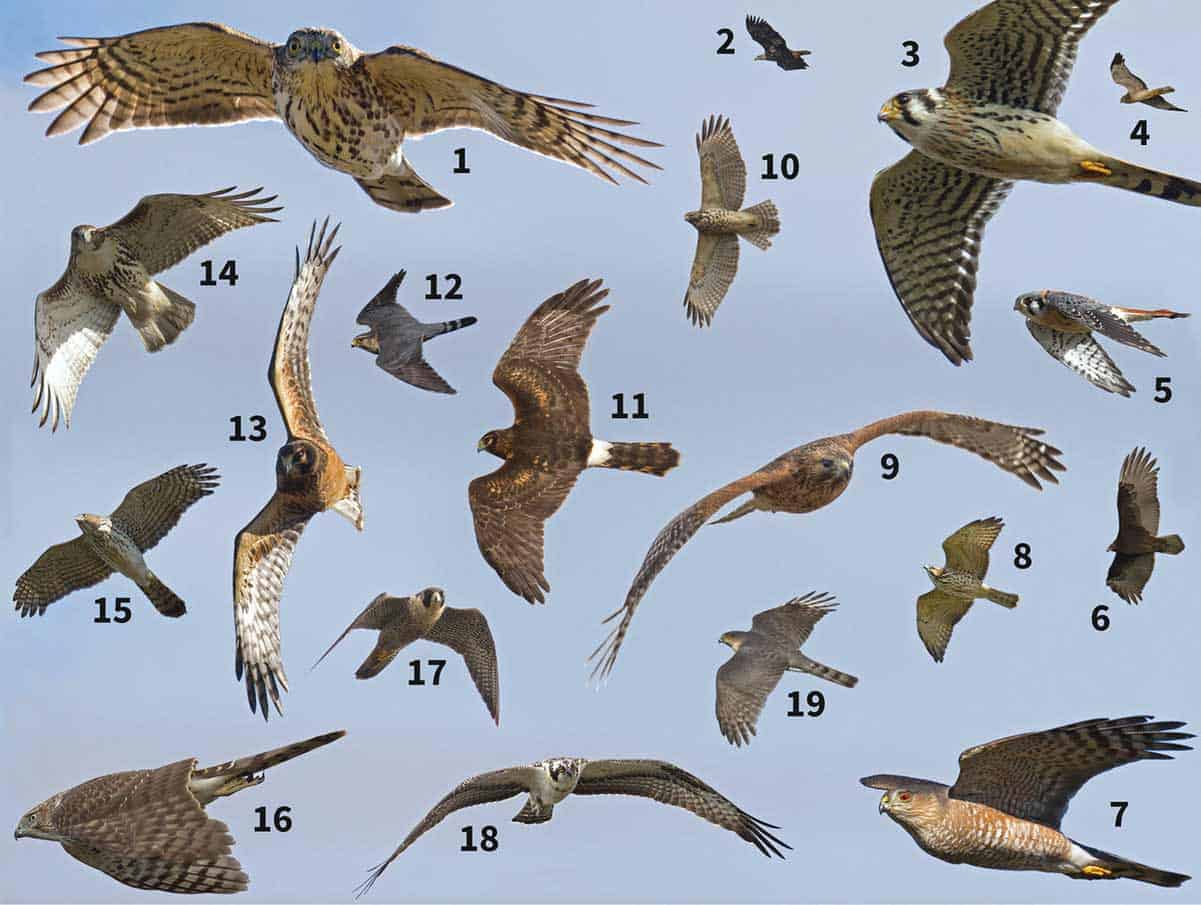birds of prey Colorado
