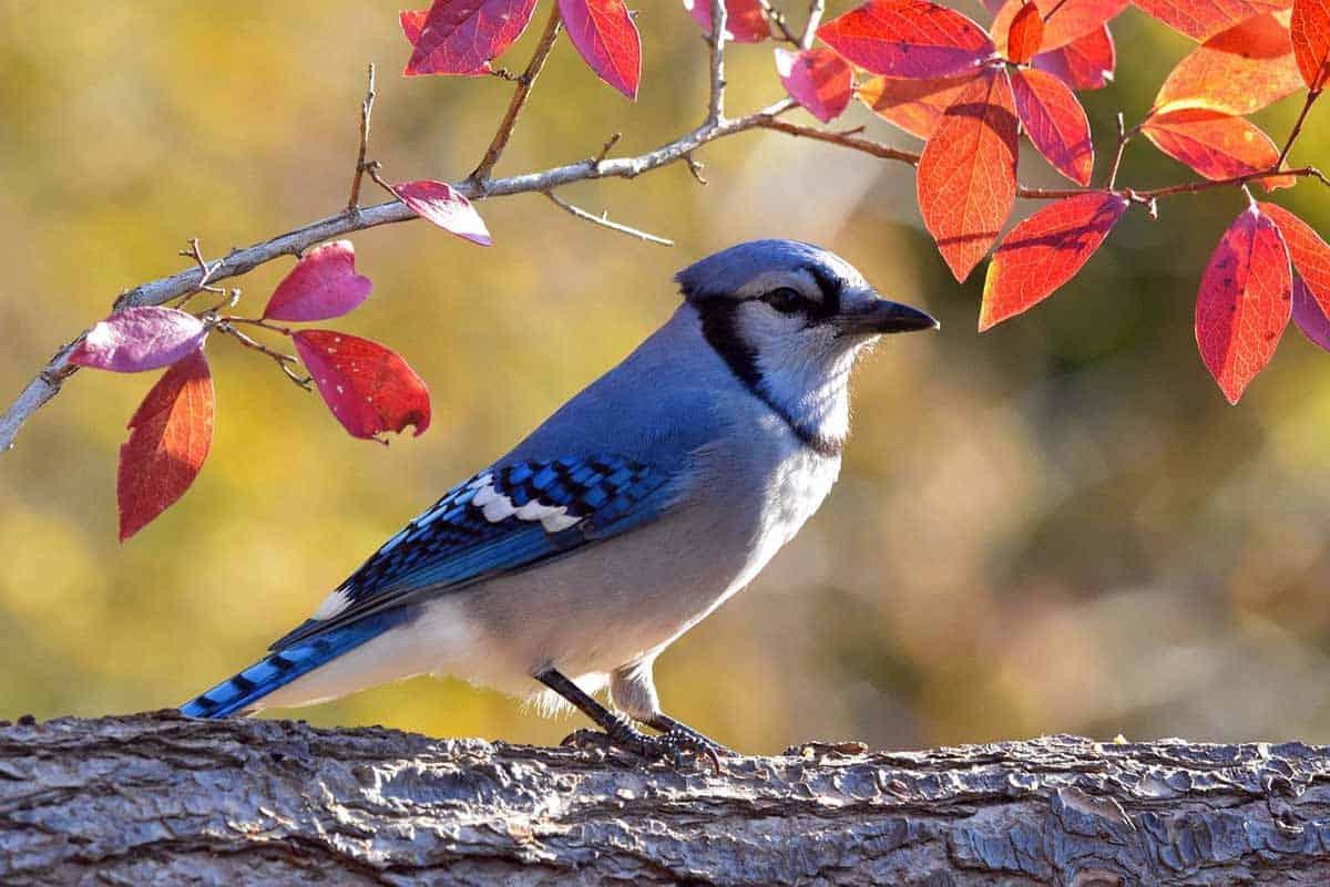 top blue jay feeders