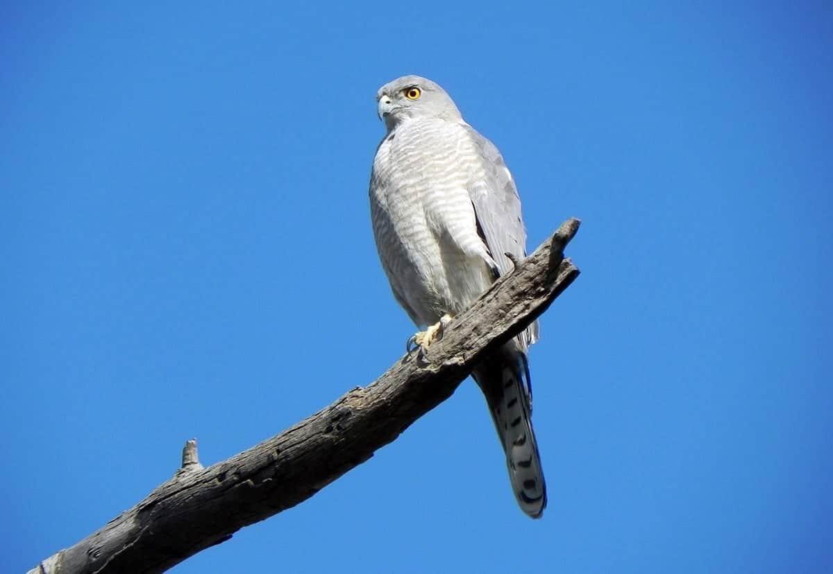 small birds of prey