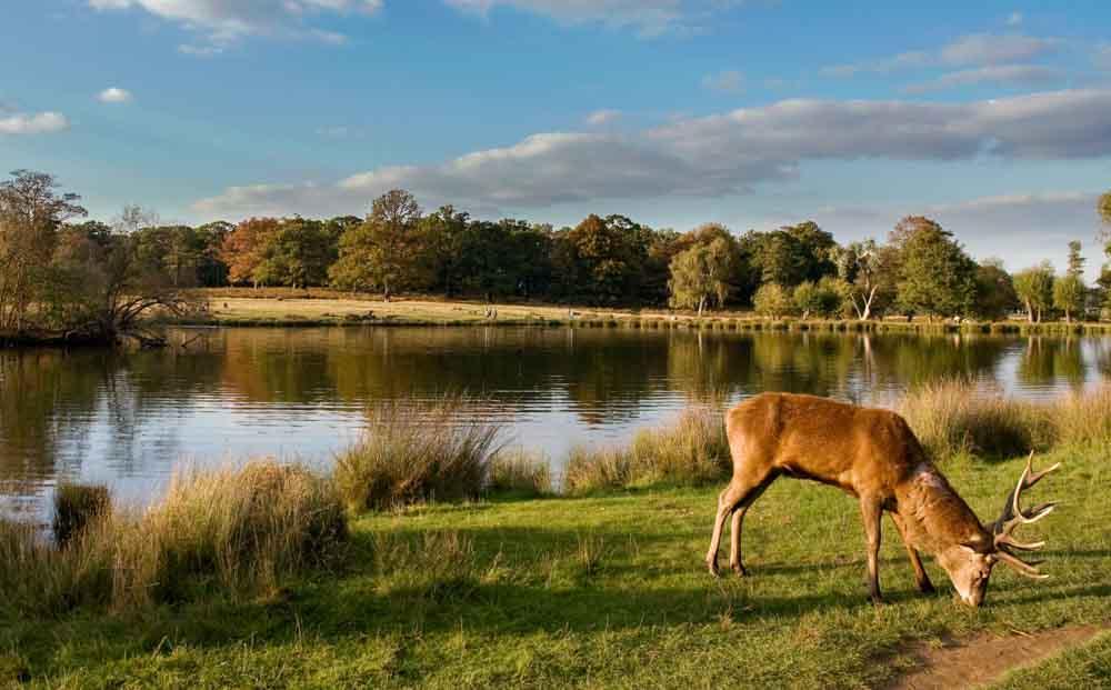 richmond-park-deer