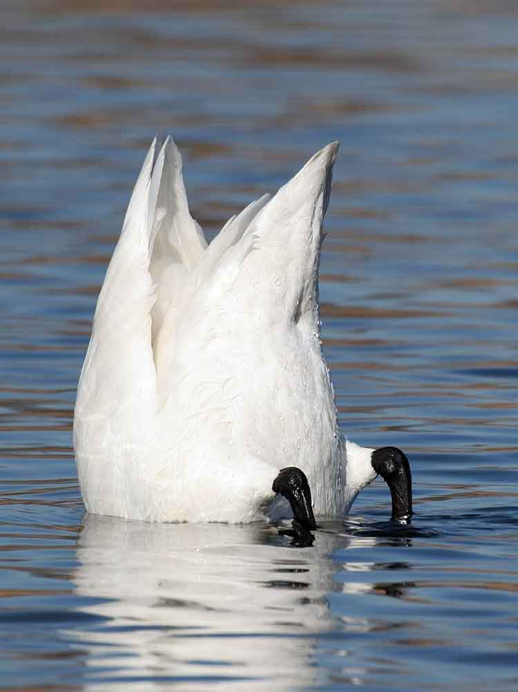swan upending for food