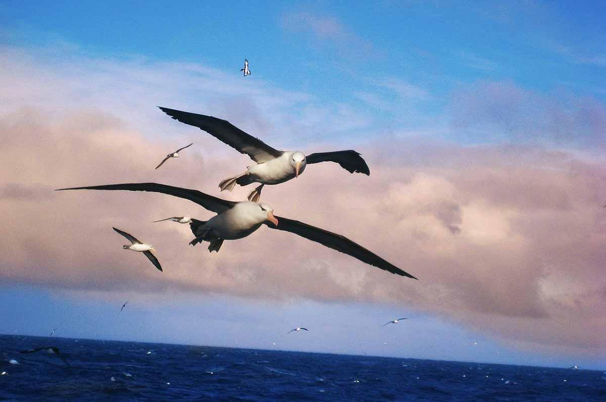 albatros symbolism