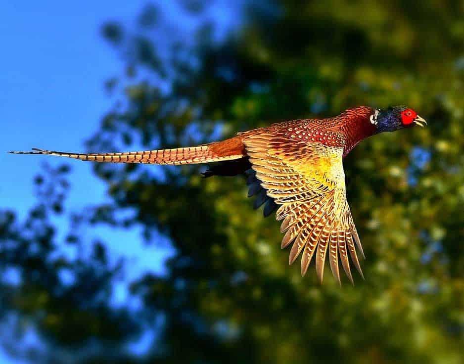 pheasant symbolism