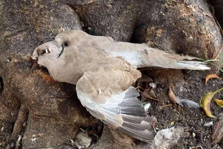 Dead Pigeon in the garden