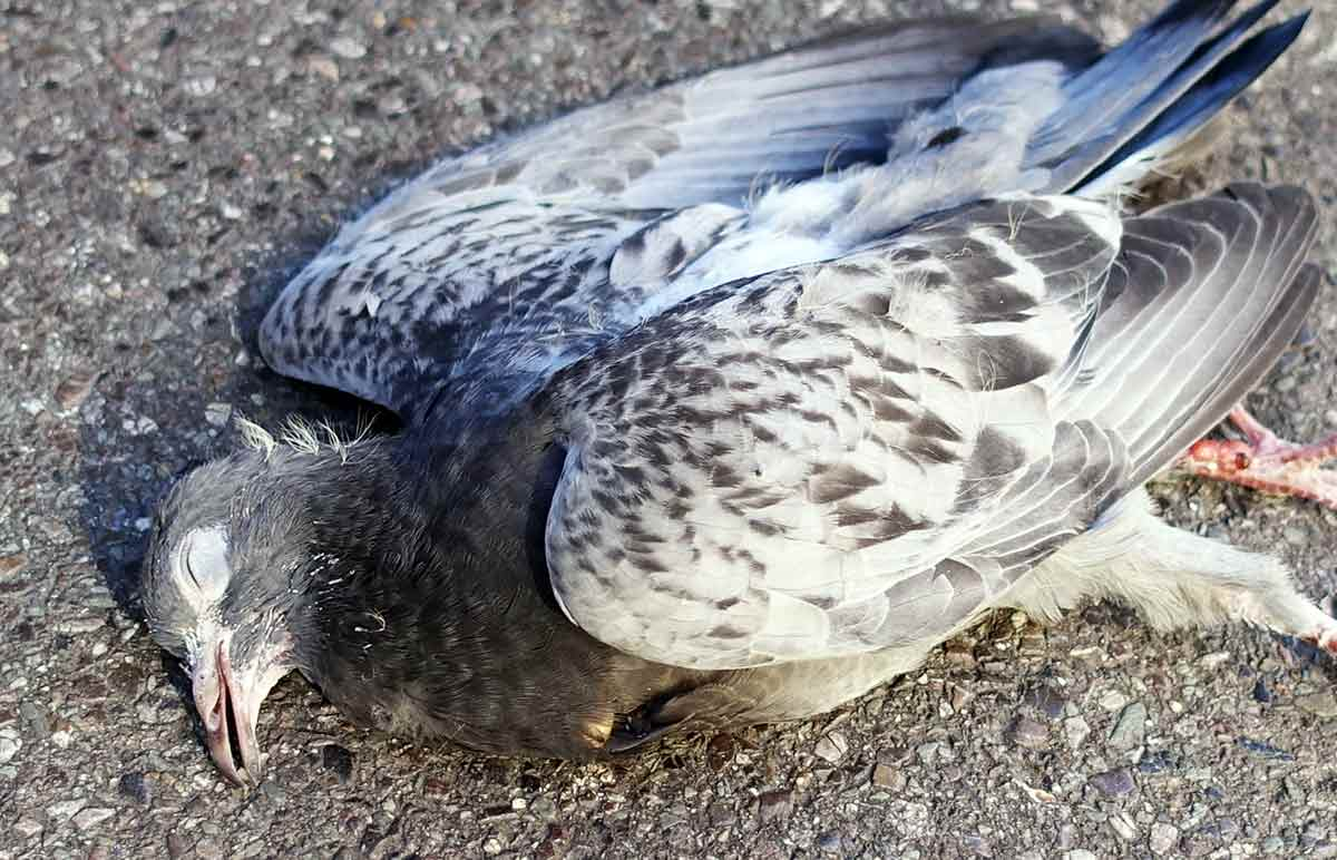 Dead pigeon meaning