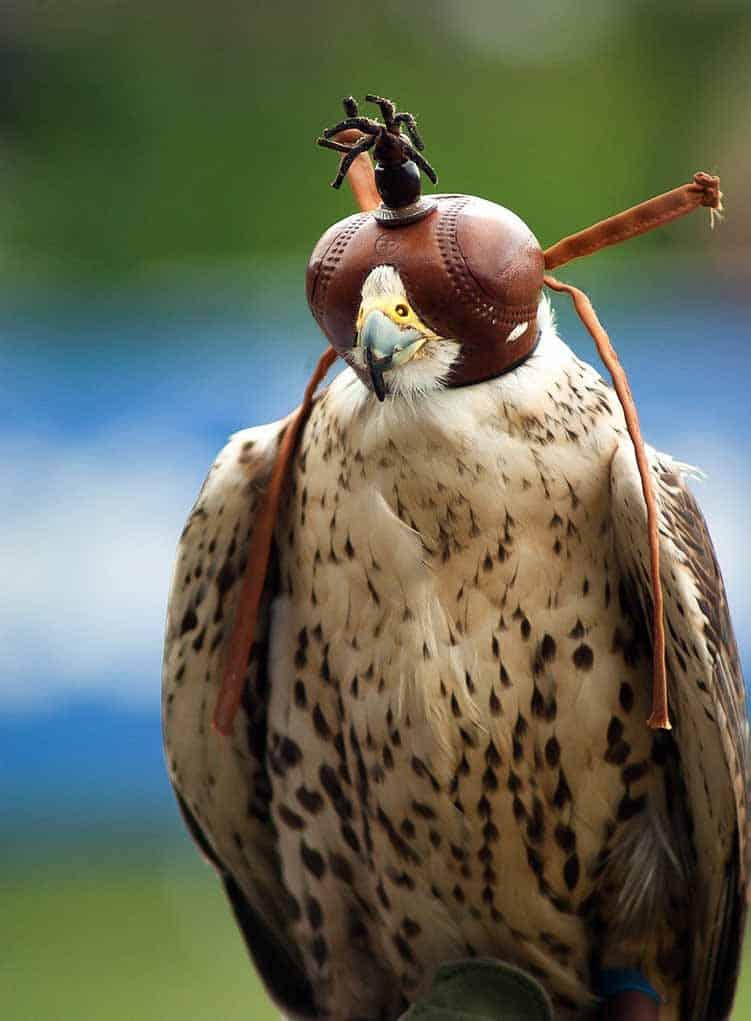 Falcon Animal Totem