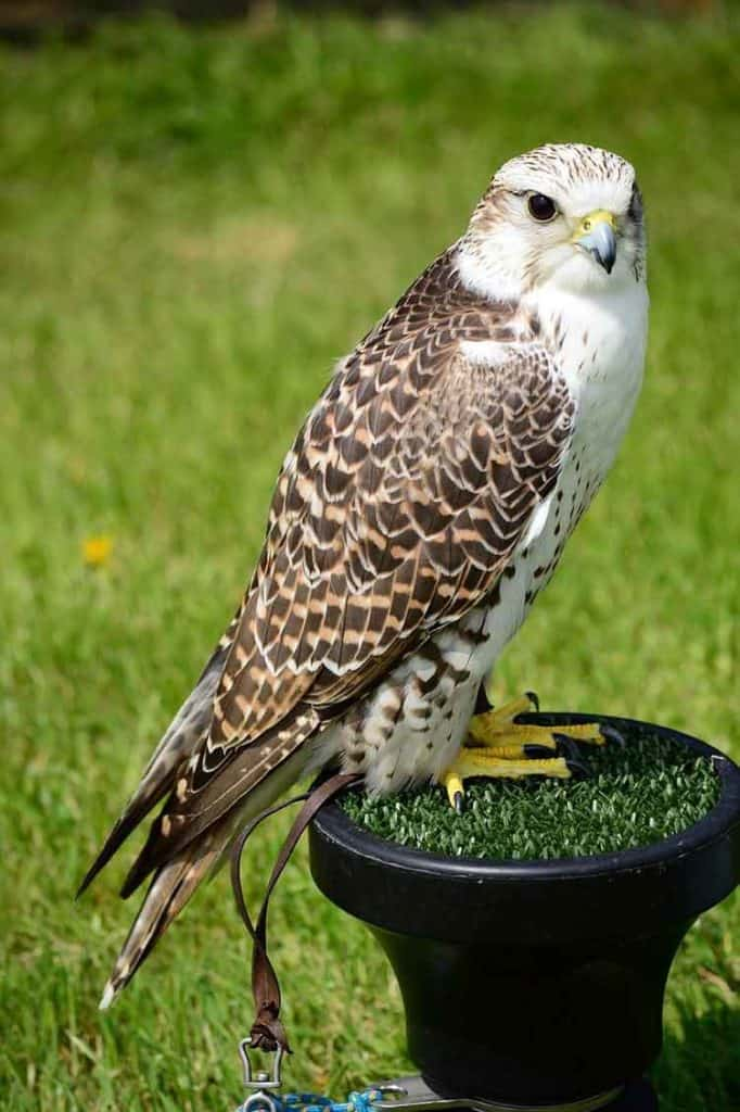 Falcon Dream Meaning