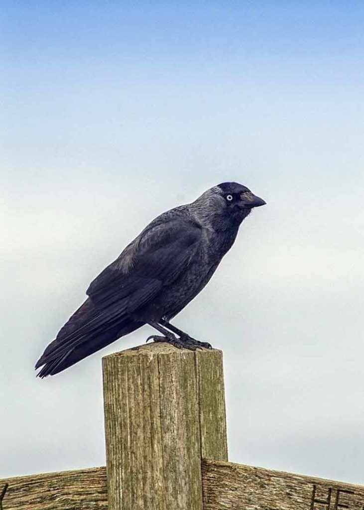 crows in viking cultures