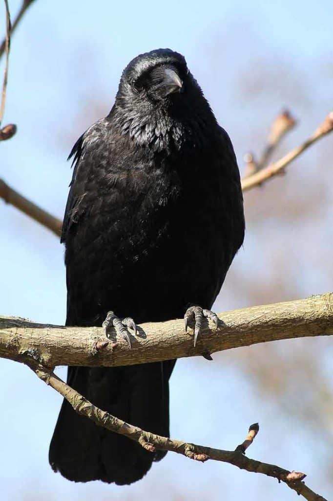 crow in mythology