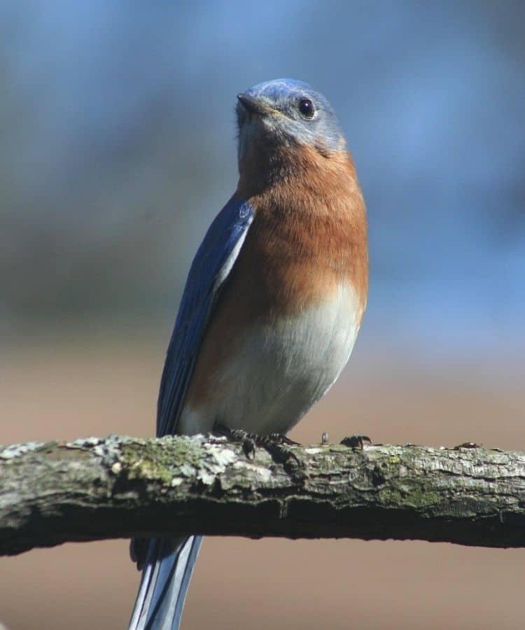 Bluebird in Japanese Culture