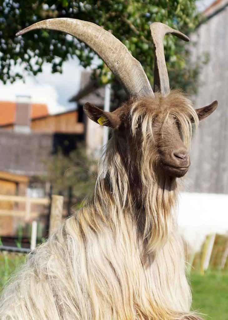 goat in dreams