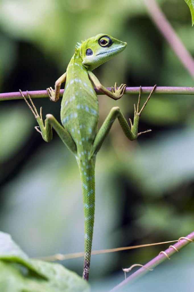 Lizard Spiritual Helper