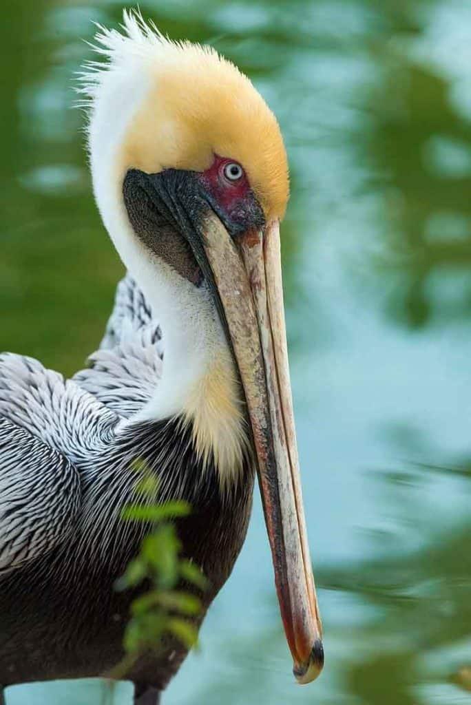 pelican-spiritual meaning