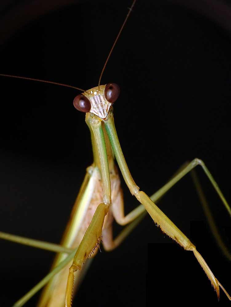 mantis interpretations