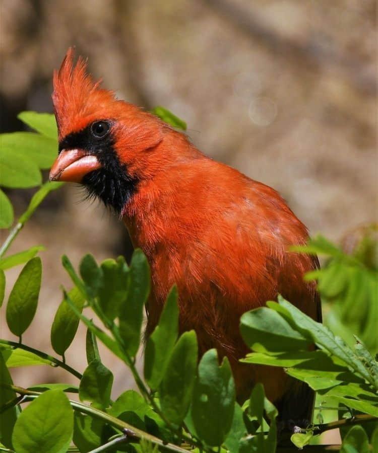 red cardinal bible
