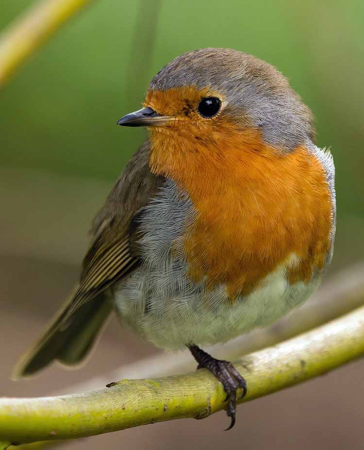 Robin symbolism in different cultures