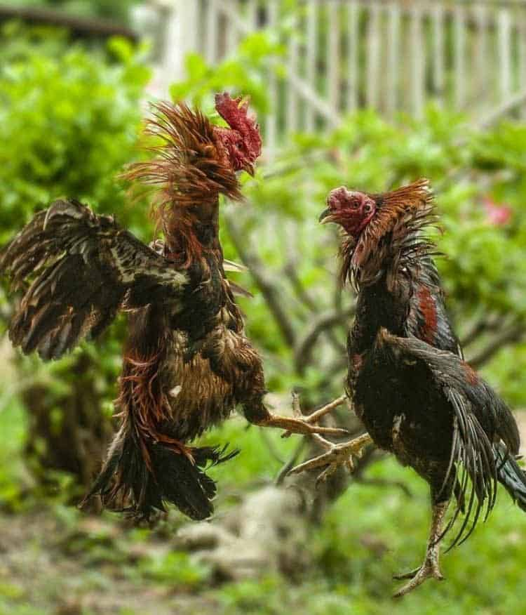 roosters fight symbolism