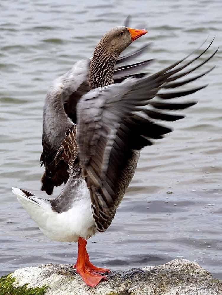 wild-goose-animal totem