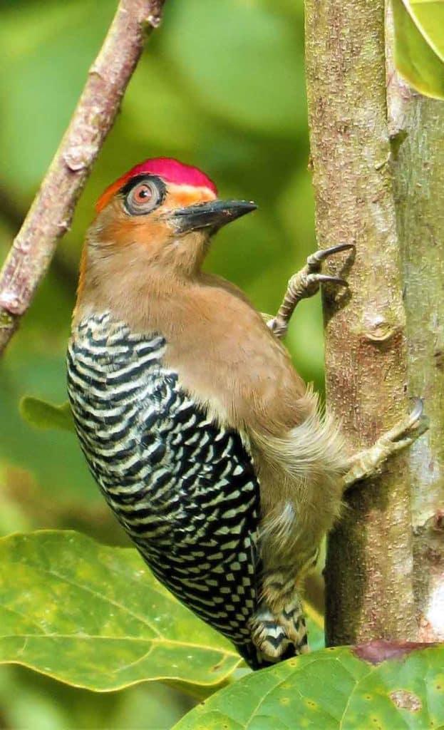 woodpecker in dreams