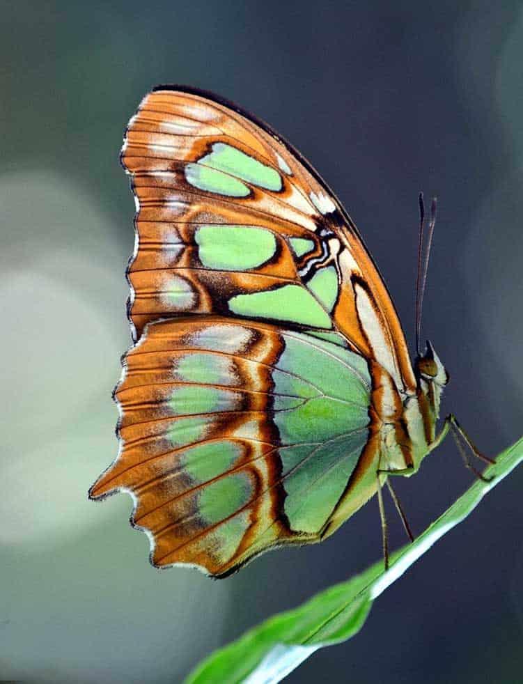 dead butterfly omen