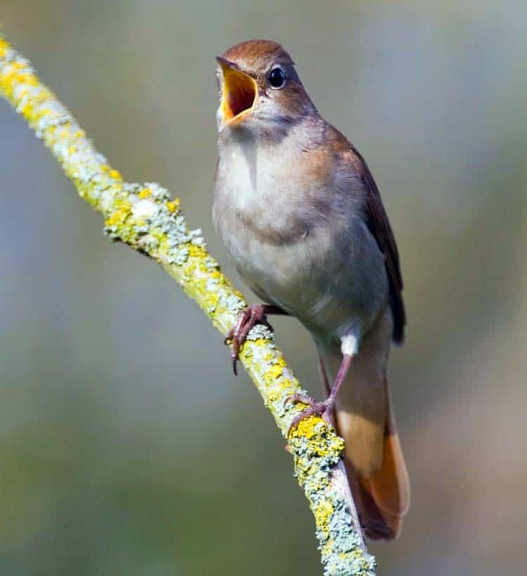 Nightingale Spirit Animal