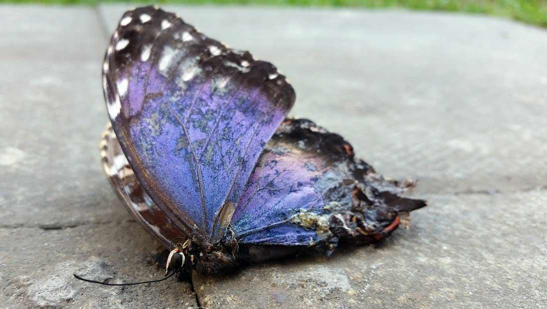 dead butterfly meaning