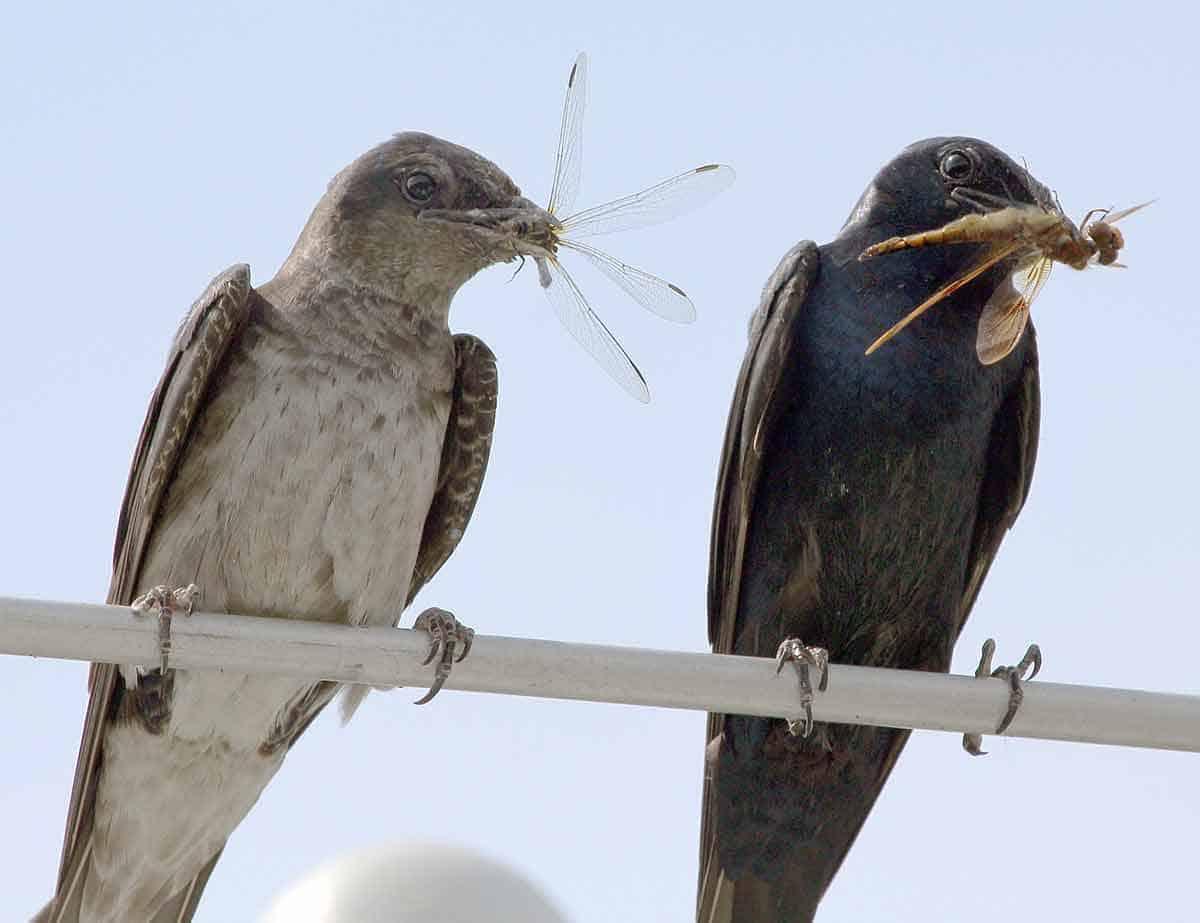 do birds eat dragonflies