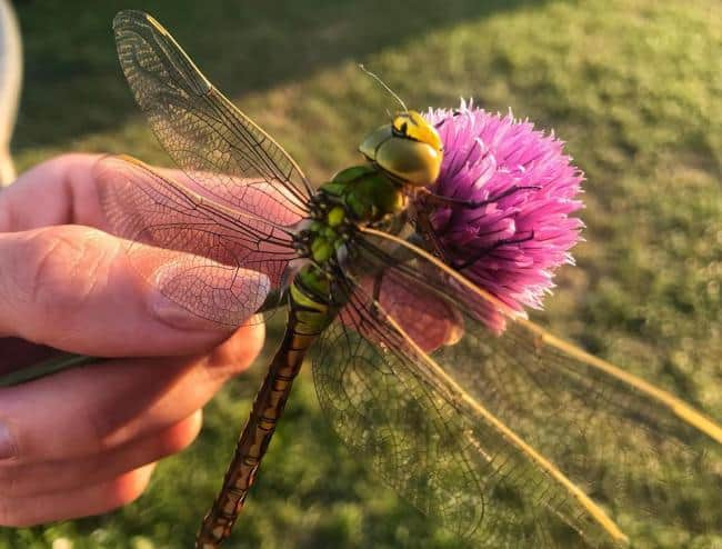 dragonfly, too big to eat