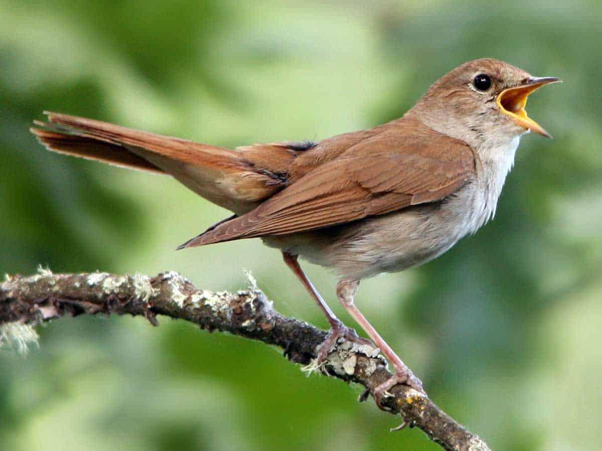 nightingale symbolism