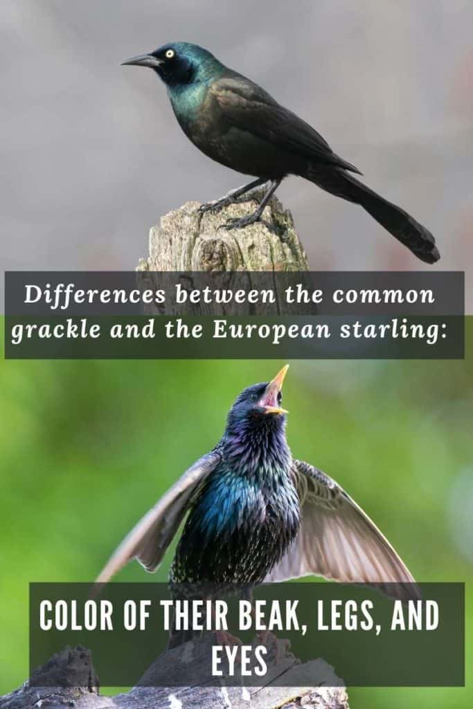 Differences grackle and European starling: