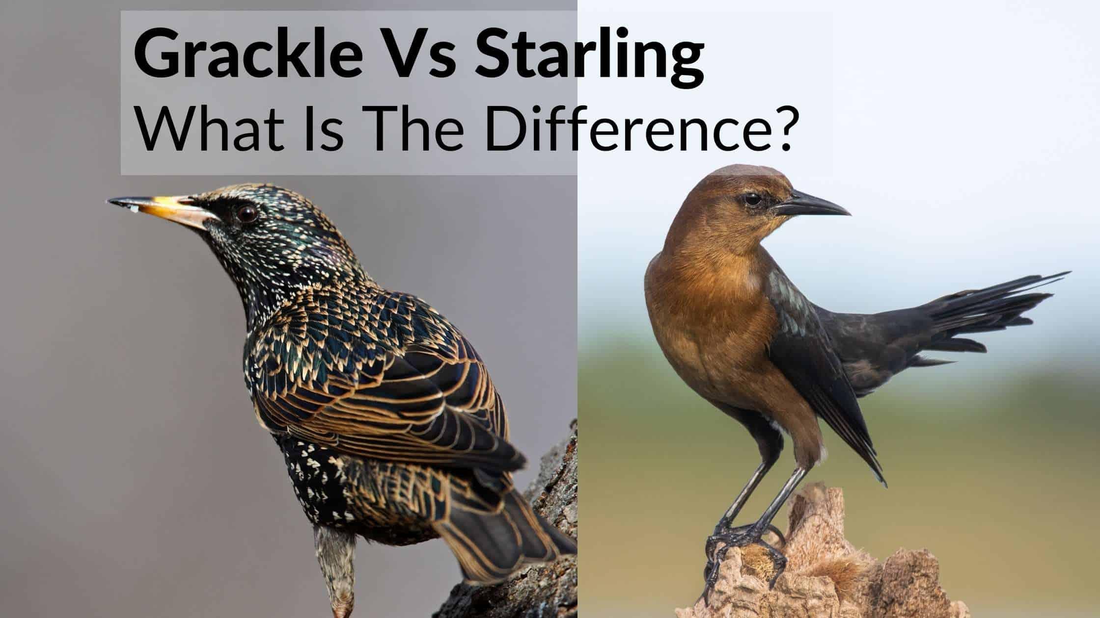 Grackle Vs Starling