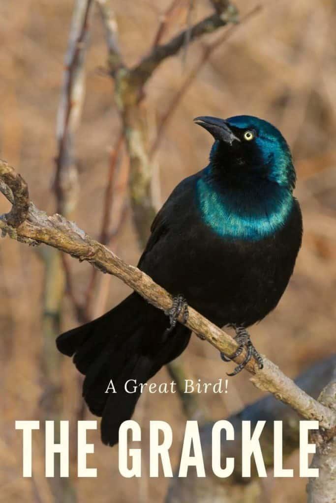 Grackle, a great bird