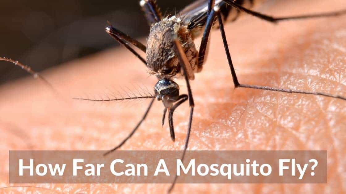 How Far Can a Mosquito Fly