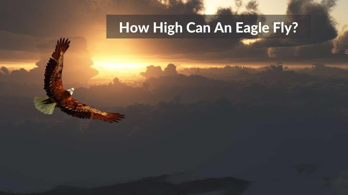 How High Can An Eagle Fly